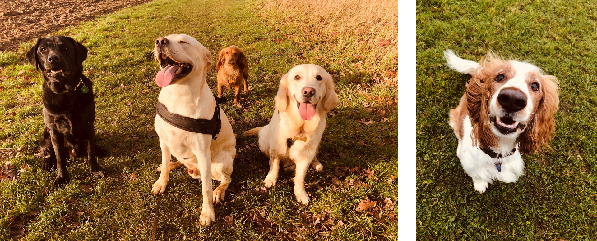 Waggy Tails of Wymondham: Nelson, Bailey & Yannick and Dillan